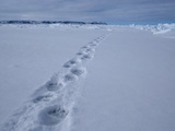 Polar Bear (Ursus Maritimus) Tracks in the Snow Photographic Print by Louise Murray