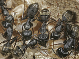 Black Carpenter Ant (Camponotus Pennsylvanicus) Photographic Print by David Wrobel