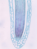 Longitudinal Section of a Duckweed Root Tip and Root Cap Cells (Lemna), a Monocot, LM X25 Photographic Print by  Biodisc