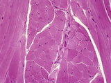 Primate Tongue Skeletal Muscle Fibers in Cross and Longitudinal Sections, H&E Stain, LM X64 Photographic Print by Gladden Willis