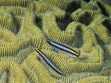 Cleaning Gobies on a Brain Coral (Gobiosoma Genie), Family Gobiidae, Caribbean Photographic Print by David Wrobel