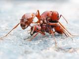 Ants (Pogonomyrmex Anergismus), Sycamore Canyon, Arizona, USA Photographic Print by Alex Wild