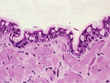Northern Leopard Frog Tongue Epithelial Surface Section, H&E Stain, LM X100 Photographic Print by Gladden Willis