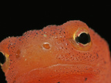 Close Up of the Red Eft Eye, Nose and Skin (Notophthalmus Viridescens) Photographic Print by David Wrobel