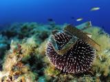 Sea Urchin (Sphaerechinus Granularis), Mediterranean Sea, San Pietro Island, Sardinia Photographic Print by Solvin Zankl