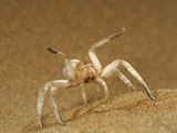 White Lady Spider (Leucorchestris Arenicola) in Defensive Threat Display Namib Desert Sand Dune Photographic Print by Solvin Zankl