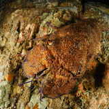 Mediterranean Slipper Lobster (Scyllarides Latus), San Pietro, Sardinia, Mediterranean Sea Photographic Print by Solvin Zankl