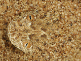 Head of a Peringueys Sidewinding Adder Emerging from a Sand Dune (Bitis Peringueyi) Namib Desert Photographic Print by Solvin Zankl