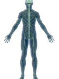 Human Male Figure Showing the Nervous System Photographic Print by Carol & Mike Werner