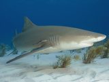 Lemon Shark (Negaprion Brevirostris) Photographic Print by Andy Murch