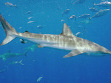 Dusky Shark (Carcharhinus Obscurus) in the Gulf of Mexico Photographic Print by Andy Murch