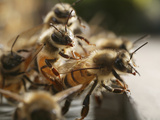 Suspended from the Hive, Honey Bees Hang from One Another to Better Allow Air Flow Photographic Print by Eric Tourneret