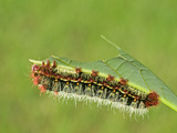 Silkmoth Caterpillar, Fifth Instar (Copaxa Escalantei), Costa Rica Photographie par Leroy Simon