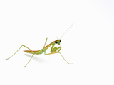 Chinese Mantis Nymph (Tenodera Aridifolia) Photographic Print by Alex Wild