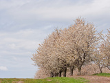 Cherry Tree Orchard (Prunus), Michigan, USA Photographic Print by Jeffrey Wickett
