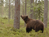 European Brown Bear (Ursus Arctos) Smelling a Scent Mark on a Tree, Finland Photographic Print by Dave Watts