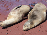 Galapagos Sea Lions (Zalophus Wollebacki) Resting on Red Sand Beach, Rabida, Galapagos Islands Photographic Print by Richard Roscoe