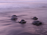The Arrival of an Olive Ridley Sea Turtle (Lepidochelys Olivacea) Photographic Print by Solvin Zankl