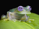 Ghost Glass Frog (Centrolenella Ilex), Costa Rica Photographic Print by Michael & Sharon Williams