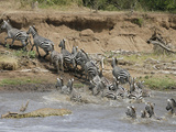 Burchells Zebras, Equus Burchelli, Crossing the Mara River with a Nile Crocodile Photographic Print by Gustav Verderber