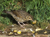 Song Thrush (Turdus Philomelos) Smashing a Snail on a Rock, France Photographic Print by Dave Watts
