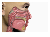 Illustration of Human Male Head Showing Mouth, Nose, and Throat Illustrating Allergy Symptoms Giclee Print by Carol &amp; Mike Werner