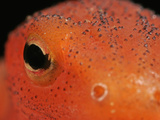Close Up of the Red Eft Eye and Skin (Notophthalmus Viridescens) Photographic Print by David Wrobel