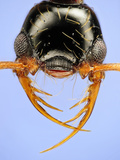 Head of the Ant (Thaumatomyrmex Atrox) Photographic Print by Solvin Zankle