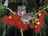 Little Pygmy Possum (Cercartetus Lepidus), Tasmania, Australia Photographic Print by Dave Watts