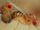 Mating Wild Type Fruit Flies (Drosophila Melanogaster) in a Lab Culture Photographic Print by Solvin Zankl