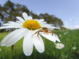 Crab Spider on a Daisy Flower (Xysticus Cristatus), Germany Photographic Print by Solvin Zankl