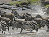 Wildebeests (Connochaetes Taurinus) and Zebras (Equus Burchelli) Crossing the Mara River, Kenya Photographic Print by Gustav Verderber