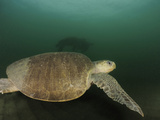 Female Olive Ridley Sea Turtle (Lepidochelys Olivacea) Swimming from the Open Ocean Photographic Print by Solvin Zankl
