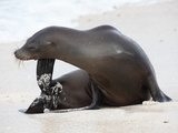Galapagos Sea Lion (Zalophus Wollebacki), Galapagos Islands Photographic Print by Richard Roscoe