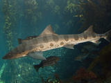 Leopard Shark (Triakis Semifasciata), California, USA, Eastern Pacific Ocean Photographic Print by Andy Murch