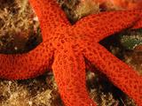 Red Starfish (Echinaster Sepositus), Mediterranean Sea, Sardinia Island, Italy Photographic Print by Solvin Zankl
