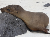 Galapagos Sea Lion (Zalophus Wollebaeki), Galapagos Islands Photographic Print by Richard Roscoe