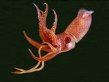 Bioluminescent Cock-Eye Squid (Histioteuthis Heteropsis) Impressão fotográfica por David Wrobel