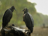 Black Vultures (Coragyps Atratus) in the Rain at Playa Ostional, Costa Rica Photographic Print by Solvin Zankl