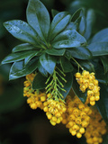 Barberry in Flower (Berberis Valdiviana) Photographic Print by Phillip Smith
