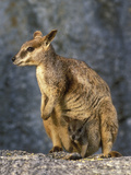 Mareeba Rock Wallaby (Petrogale Mareeba) Female and Joey in Her Pouch, Queensland, Australia Photographic Print by Dave Watts