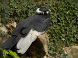 Andean Condor (Vultur Gryphus), Captivity Photographic Print by Dave Watts