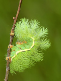 Silkmoth Caterpillar, Fourth Instar, in Defensive Posture (Automeris Randa), Arizona, USA Photographic Print by Leroy Simon