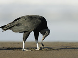 Black Vulture Feeding on an Olive Ridley Sea Turtle Hatchling Photographic Print by Solvin Zankl