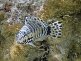 Harlequin Bass (Serranus Tigrinus), Family Serranidae, Caribbean Photographic Print by David Wrobel