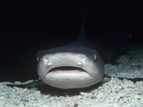 White-Tipped Reef Shark Head, Triaenodon Obesus, Carcharhinidae, Tropical Indo-Pacific Lmina fotogrfica por David Wrobel