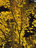 Ginkgo or Maidenhair Tree (Ginkgo Biloba) with Fall Leaves Photographic Print by Consumer Institute/NSIL