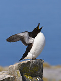 Razorbill (Alca Torda) Stretching and Yawning, Machias Seal Island Reproduction photographique par Gustav Verderber
