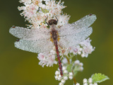 Cherry-Faced Meadowhawk Dragonfly (Sympetrum Internum) on a Meadowsweet Flower (Spiraea Alba) Photographic Print by Gustav Verderber