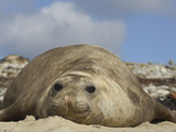 Southern Elephant Seal Lying on a Beach (Mirounga Leonina) Photographic Print by Solvin Zankl